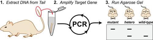 pcr-genotyping-intro-v7