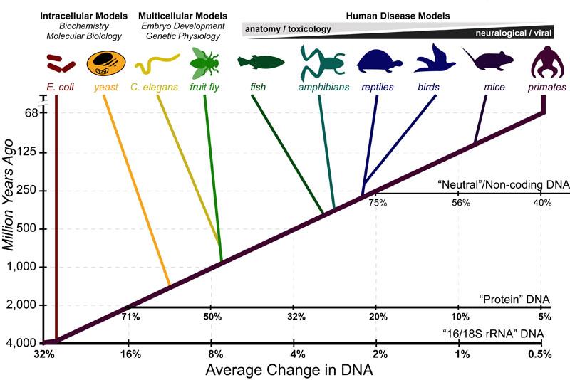 "Model organisms"" are the best-studied organisms in experimental ... Molecular Clock Human"