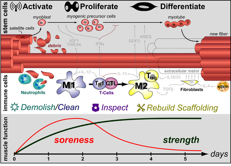 Immune-SC-muscle-v12