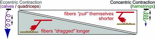 FIG2-eccentric-vs-concentric
